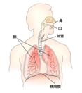 呼吸器肩こり40肩50肩頚痛首コリ腰痛